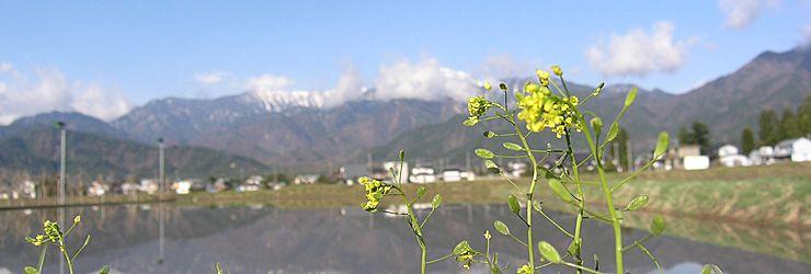 あぜ道の雑草の開花が始まります