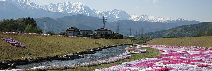 shibazakura_740x250.jpg